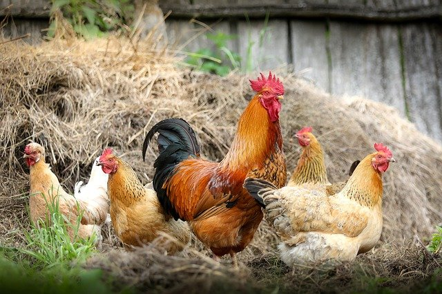 Poultry farming – ideal for self-supporters